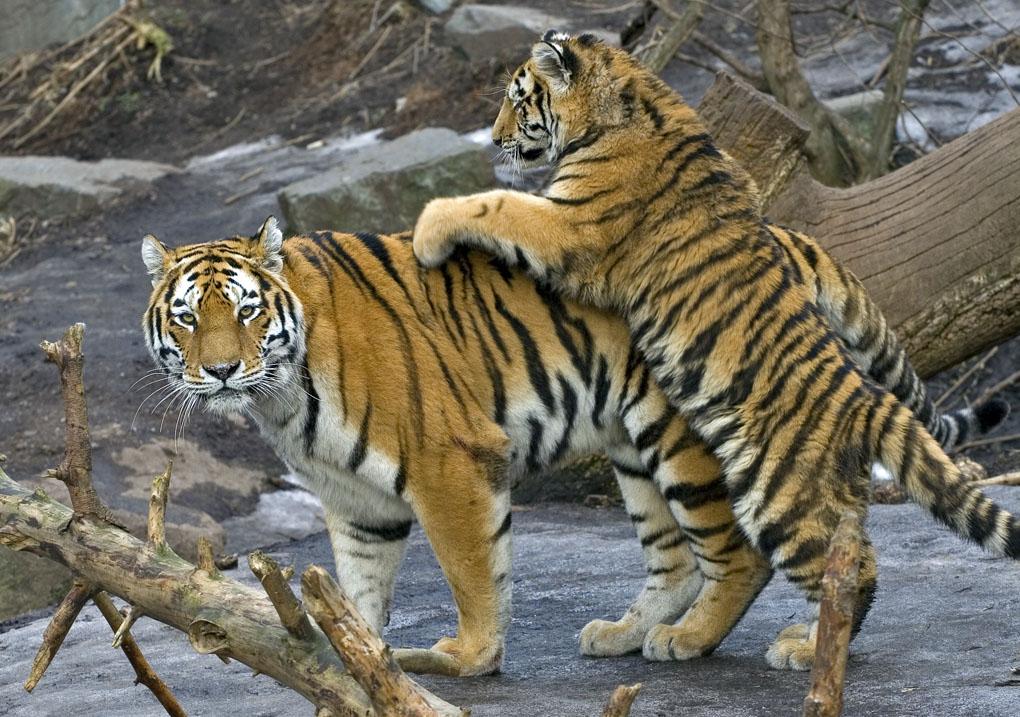 tiger unger med mor